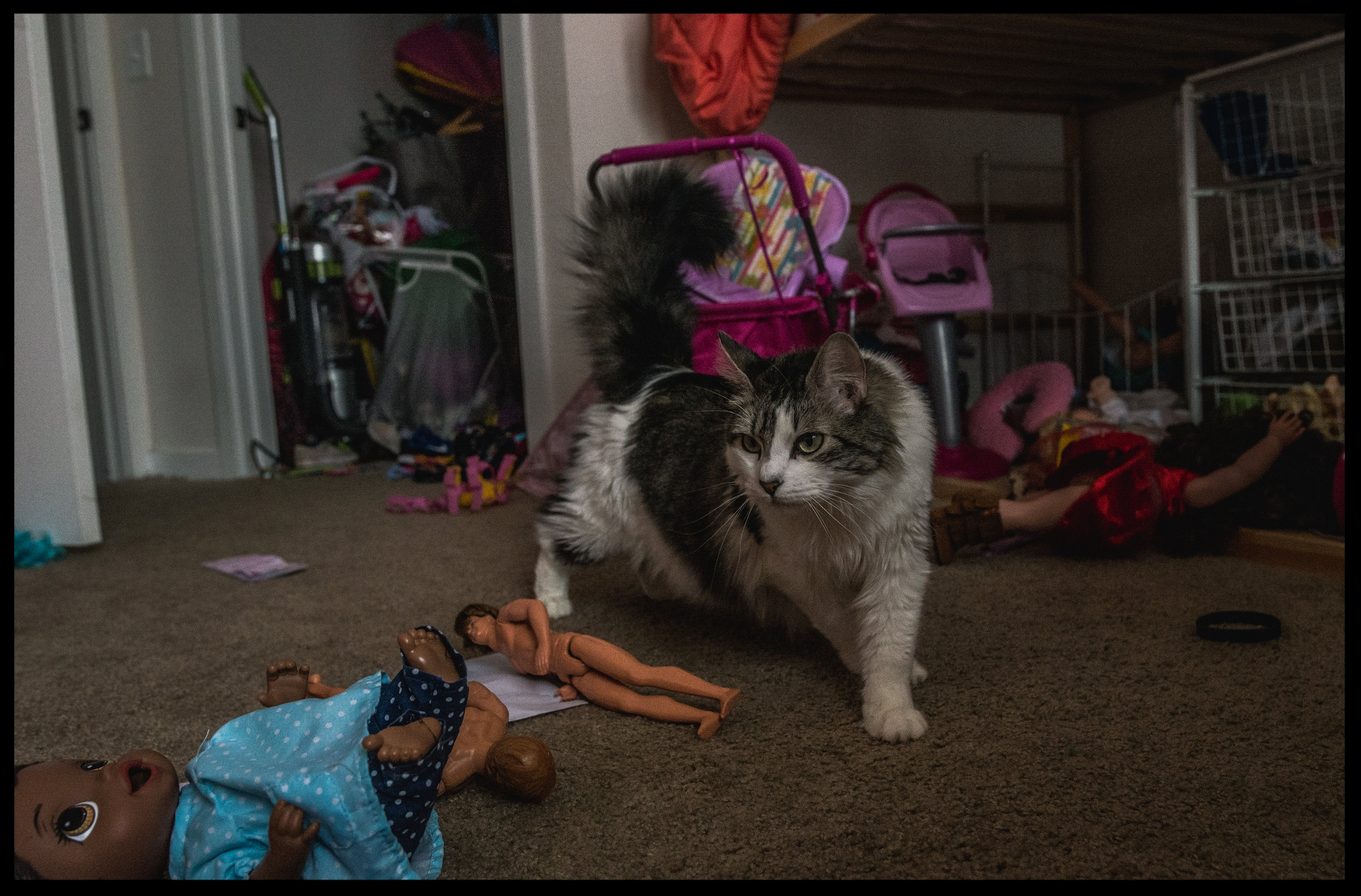 Grey and white fluffy cat standing in a silly fashion, color, Lakewood, Colorado