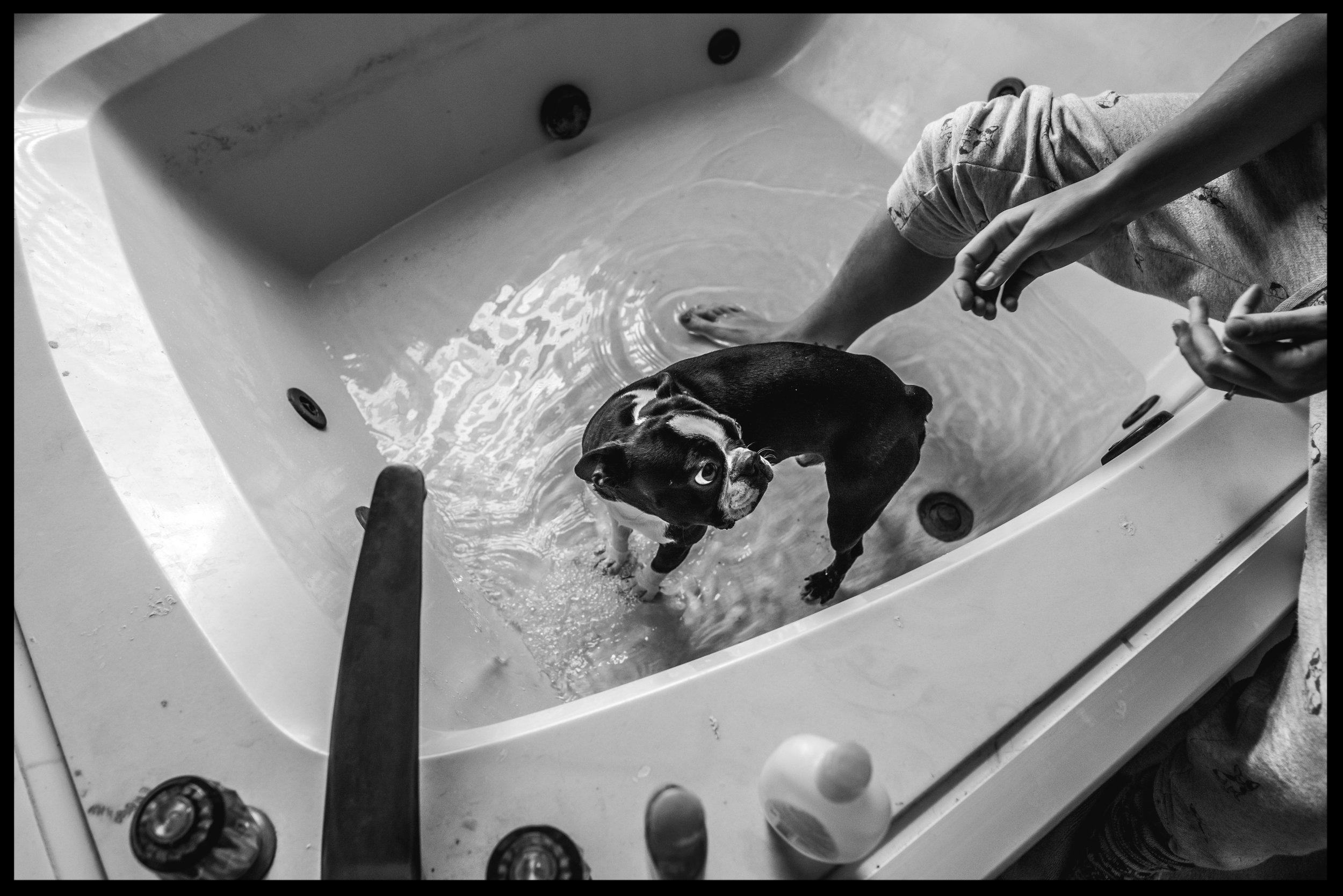 Small dog getting washed in a big bathtub, black and white,Aurora, Colorado