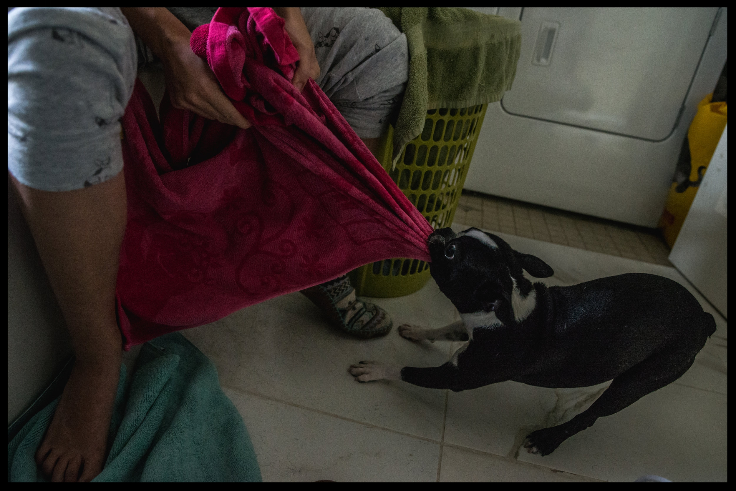Dog pulling on bright pink towel, color,Aurora, Colorado