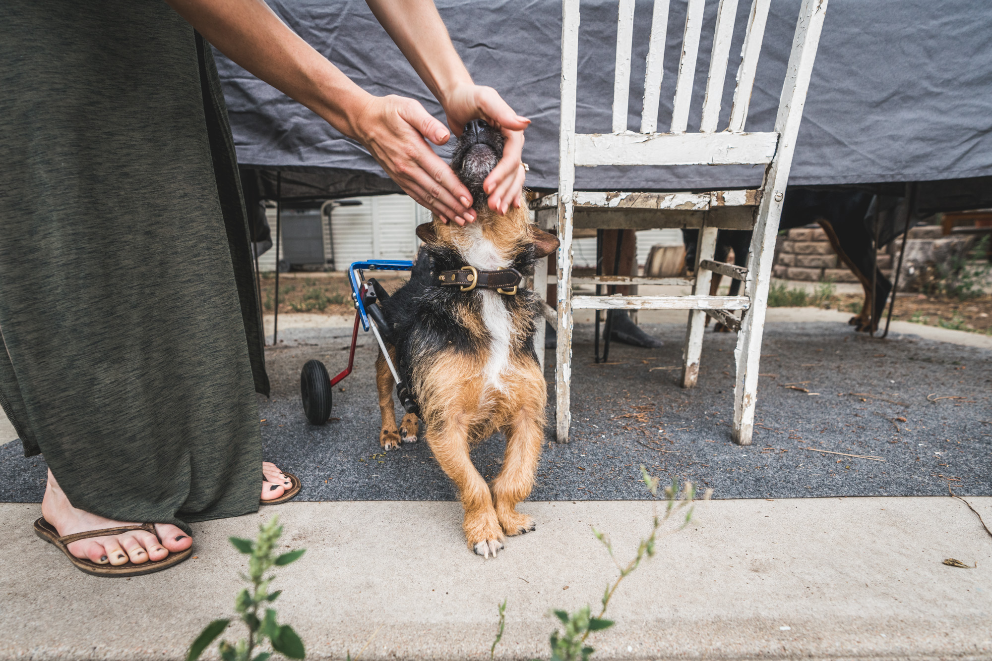 Tiny dog in a wheelchair looks up as his owner rubs his face