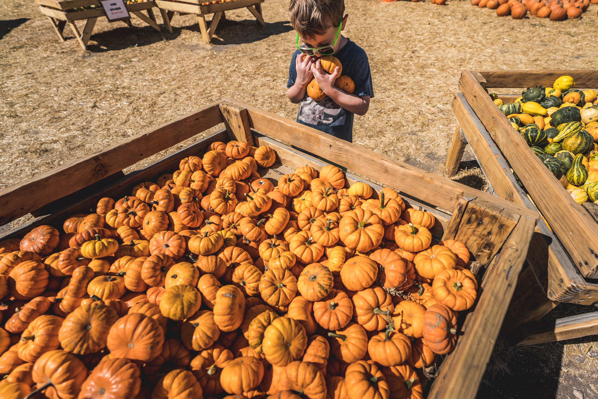 Little boy at a pumpkin patch holds several pumpkins in his arms in front of a giant container of mini pumpkins at the Flat Acres Farm in Parker, Colorado