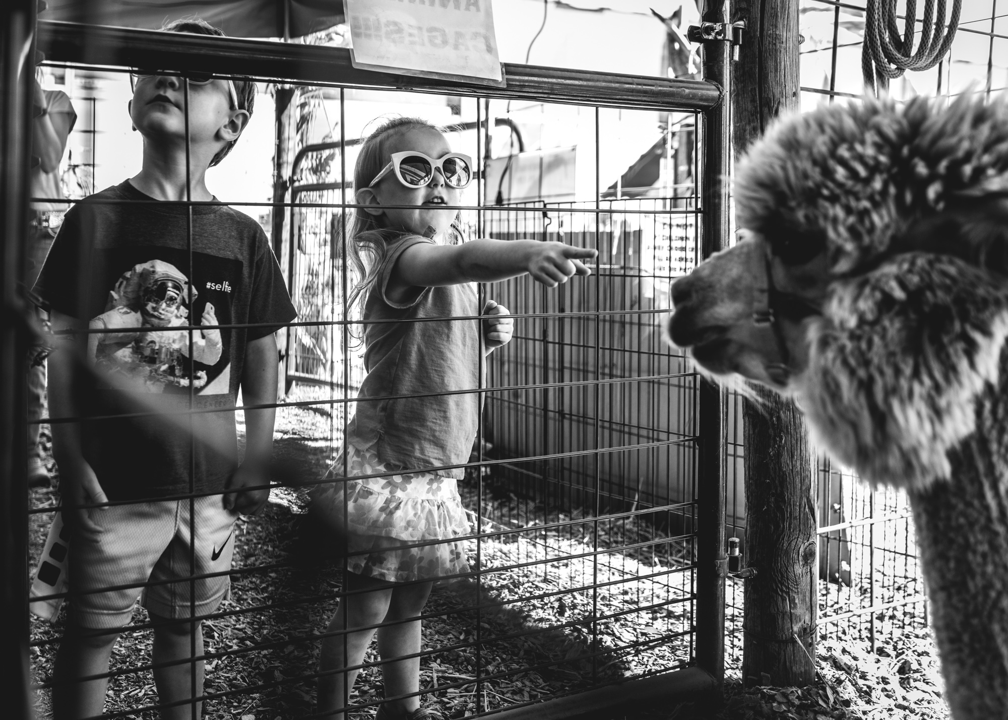 Little girl at a petting zoo at the Flat Acres Farm pumpkin patch points at an alpaca