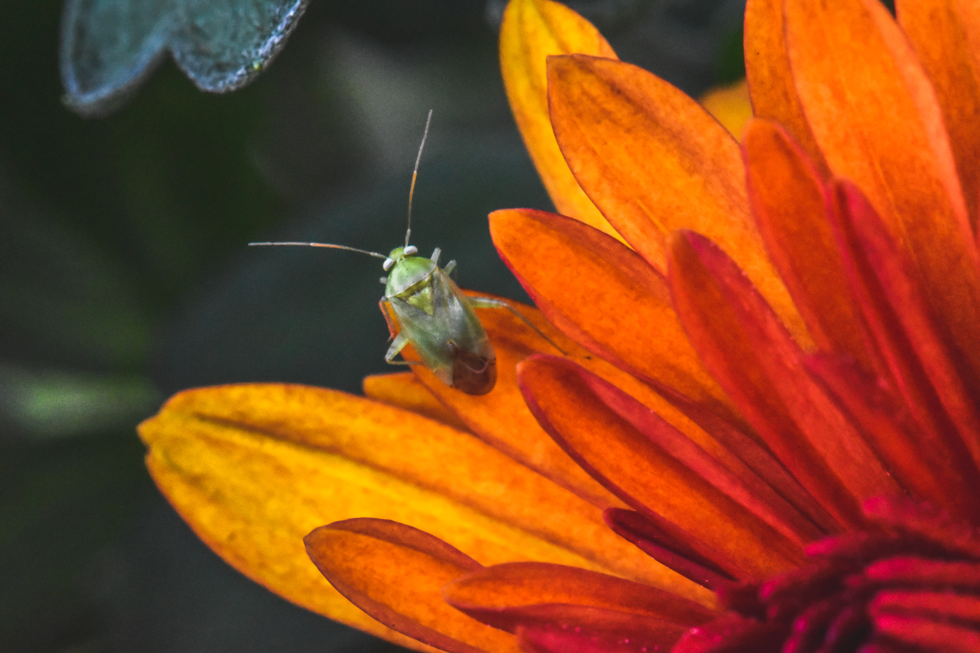 Green bug on an orange flower