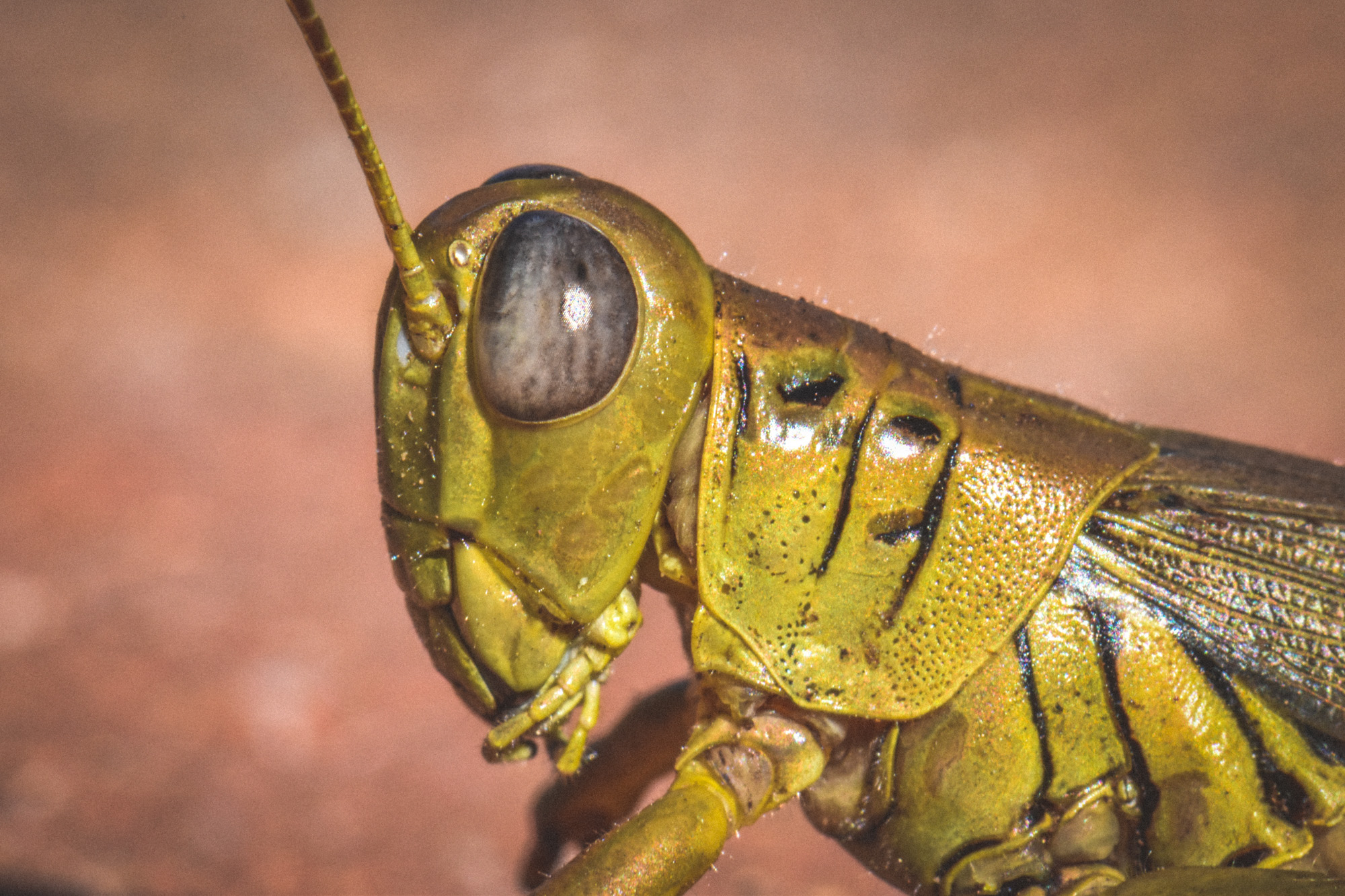 Strong profile of a grasshopper