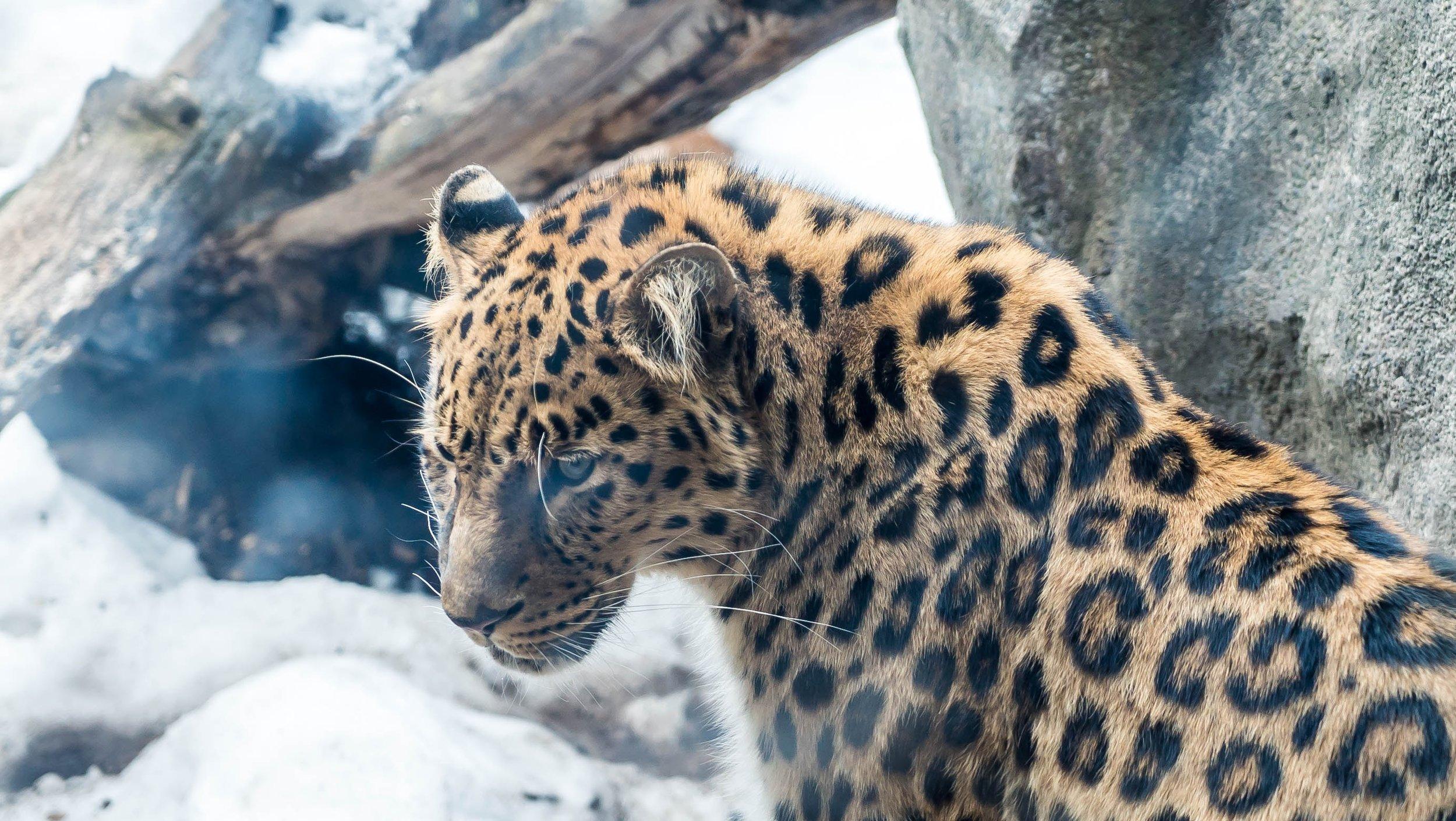Amur leopard.jpg