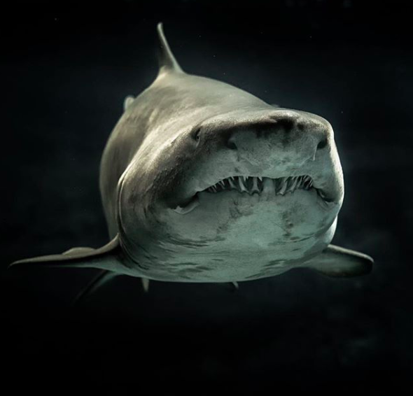 Sharks have been around for over hundreds of millions of years. While many of us may be familiar with a few shark species, there are over 400 of them, from the 8-inch-long dwarf lanternshark to the 40-foot-long whale shark.