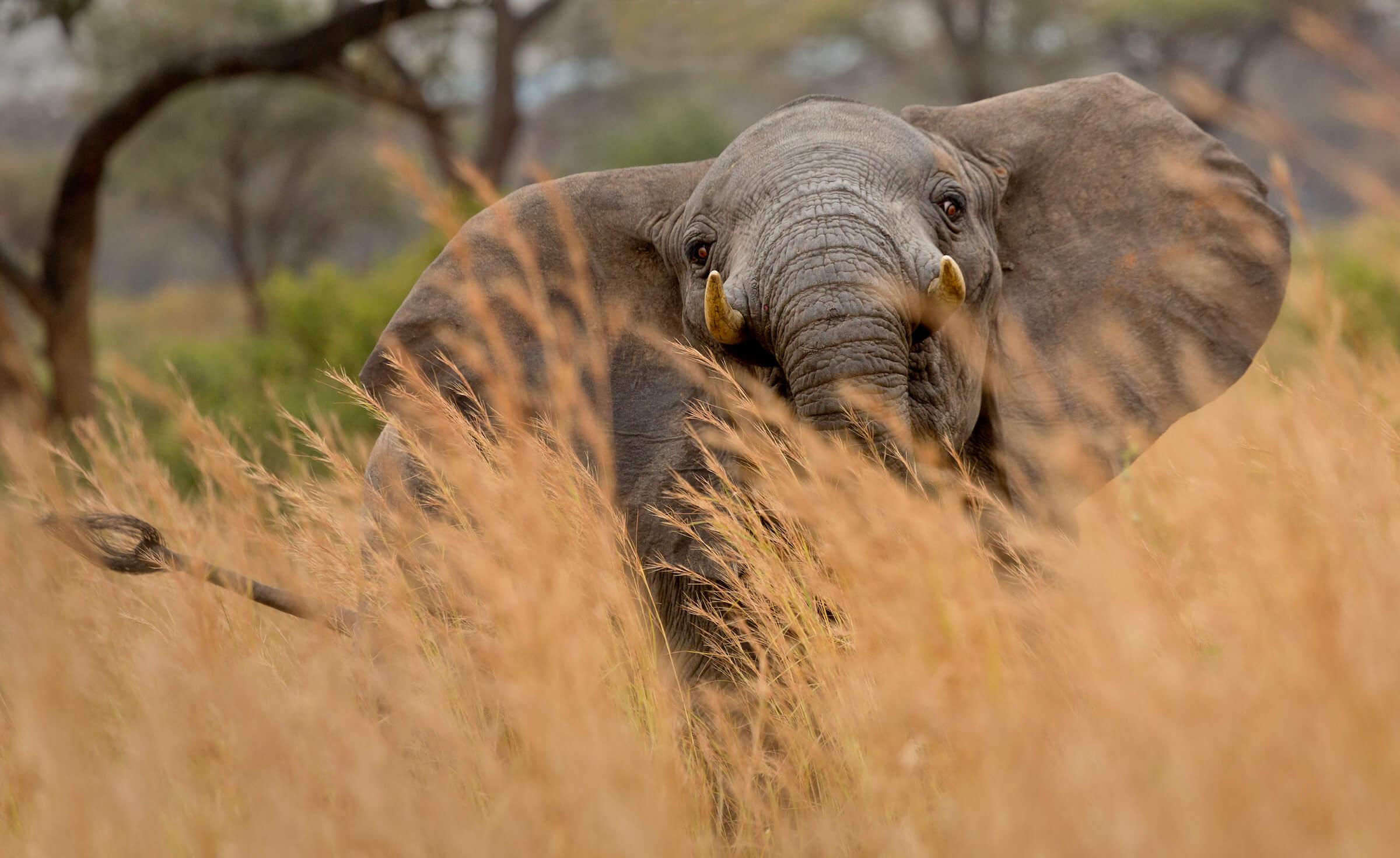 ElephantGrass.jpg
