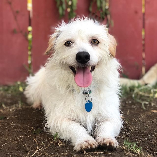 Southern CA Meet Fred!!❤️ Fred is the cutest low rider terrier mix.  He is about 2 1/2 years old and ready for a home of his own.  He came from the Tijuana pound a d cant wait to live life on easy street. Fred is currently in boarding and could use a foster. Please let us know if you are interested in fostering or adopting Fred. #adoptdontshop #dogrescue #rescuedog #fosteringsaveslives