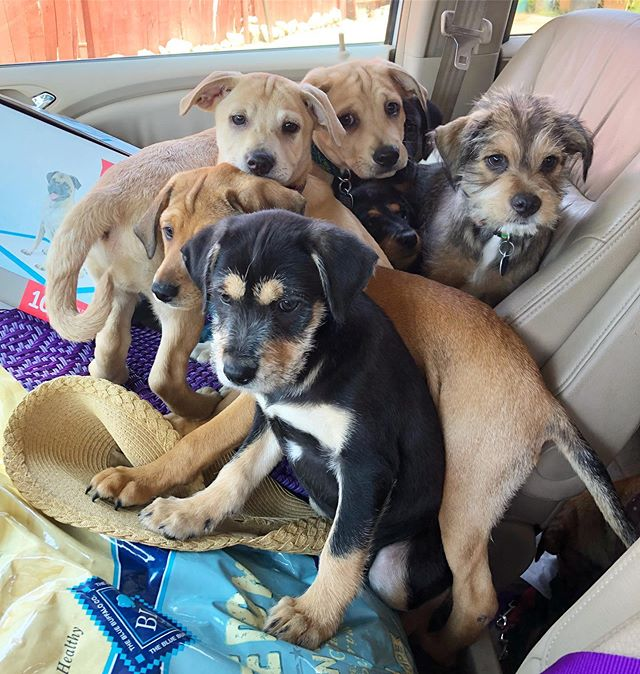 Getting them ready to head to their fosters!  These 9.5 week old pups are ready for adoption!  Fill out application on our website if interested💜 #adoptdontshop #puppiesofinstagram #mutts #muttpuppies #muttpuppiesarethebestpuppies #puppies