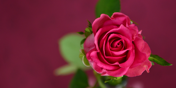 Single-Pink-Rose-CS-125.jpg
