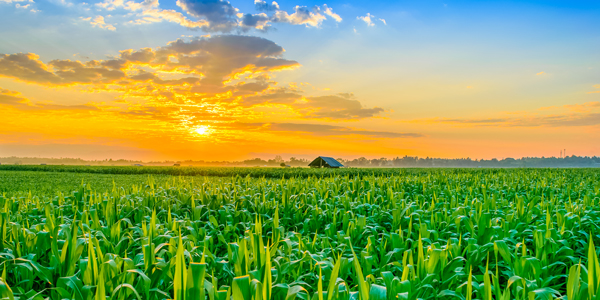 Cornfield-Sunset-CS-181.jpg
