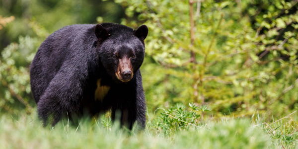 Black-Bear-CS-184.jpg