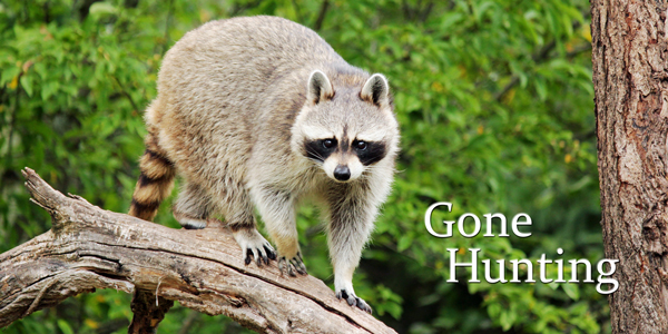 Gone-Hunting-Raccoon-CS-193.jpg
