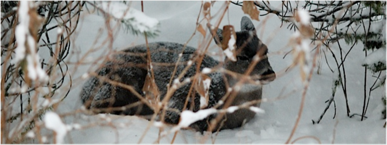 Sitka blacktail deer in winter (Odocoileus hemionus sitkensis)