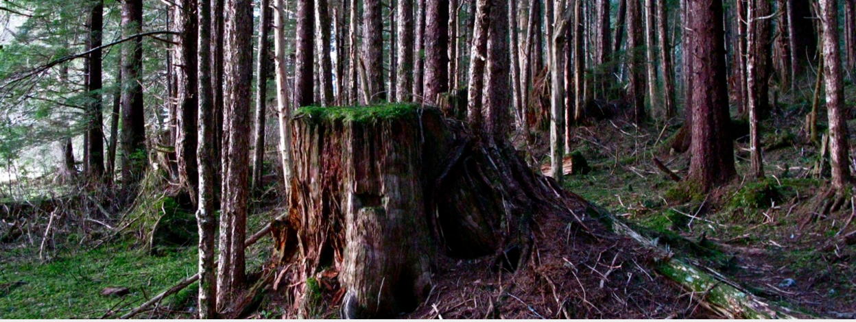 'Coming on a century' -- hand logged old growth stump with springboard notch