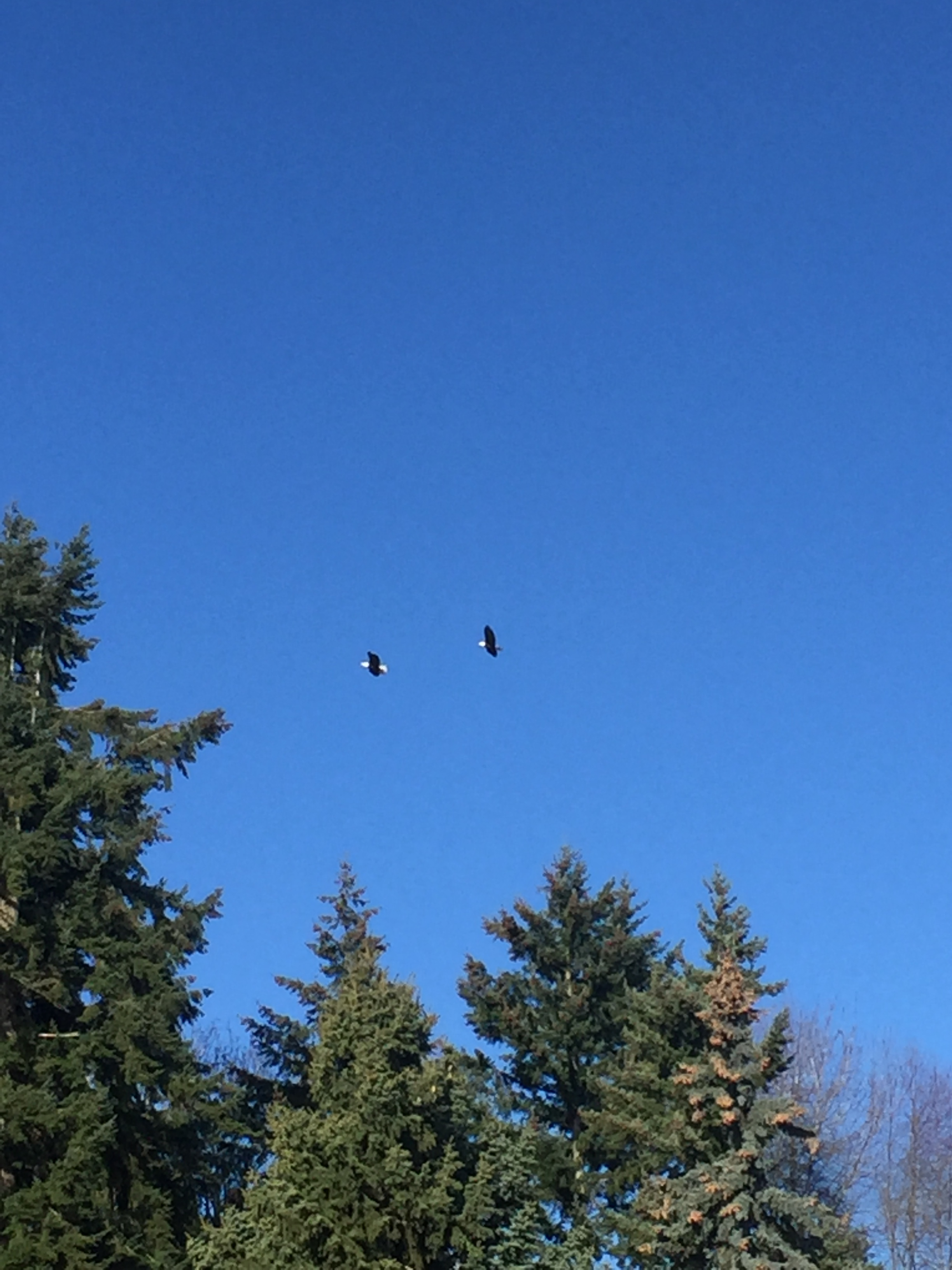 A pair of eagles flying over the tree tops.