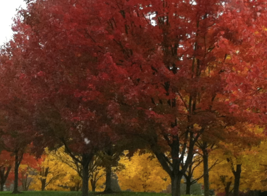 Picture of big trees with orange and red leaves.