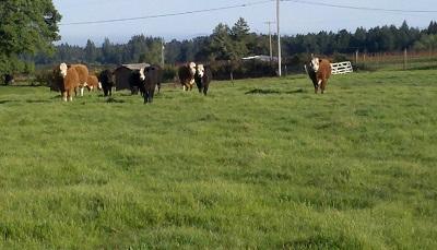 Cows.jpg