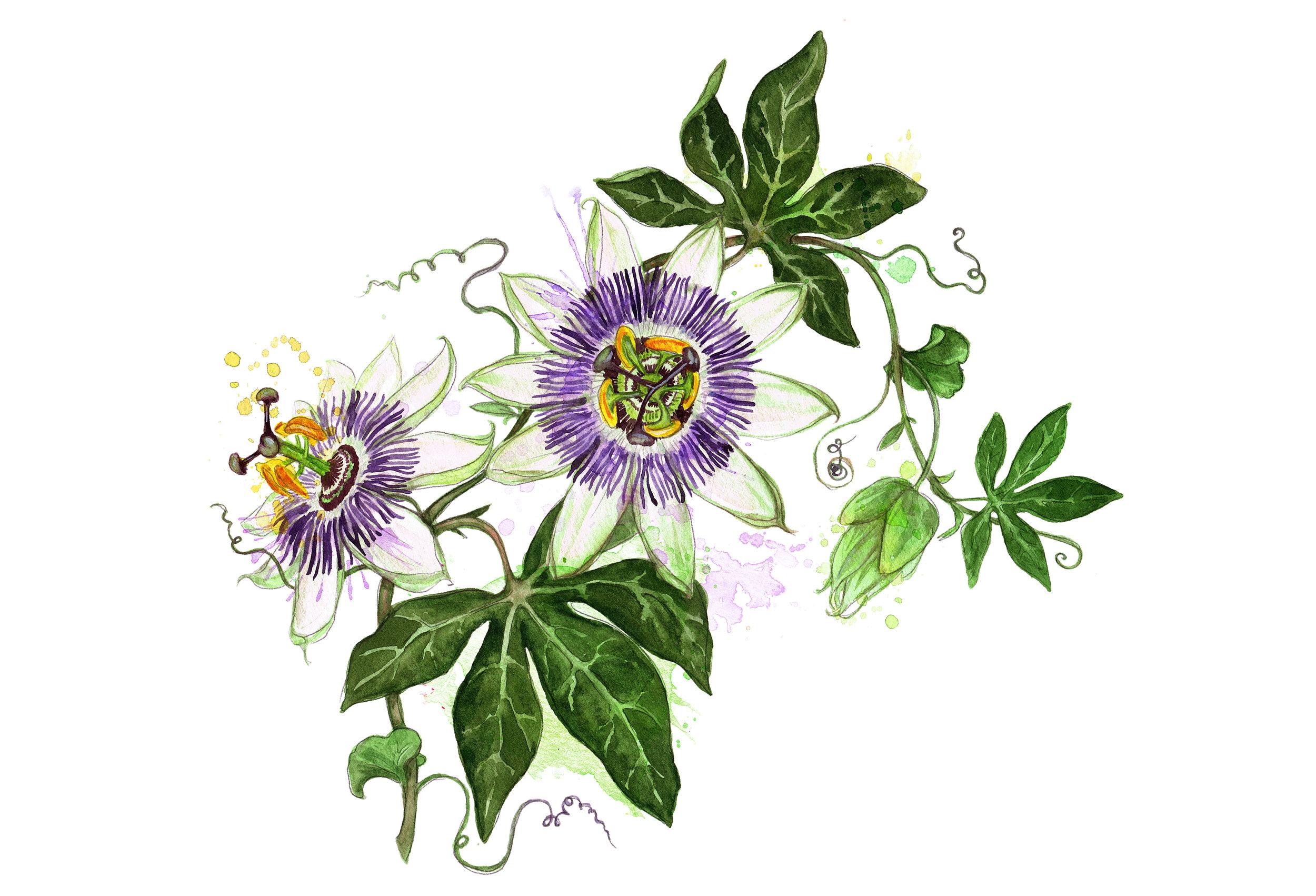AUK_2017_passiflora.jpg