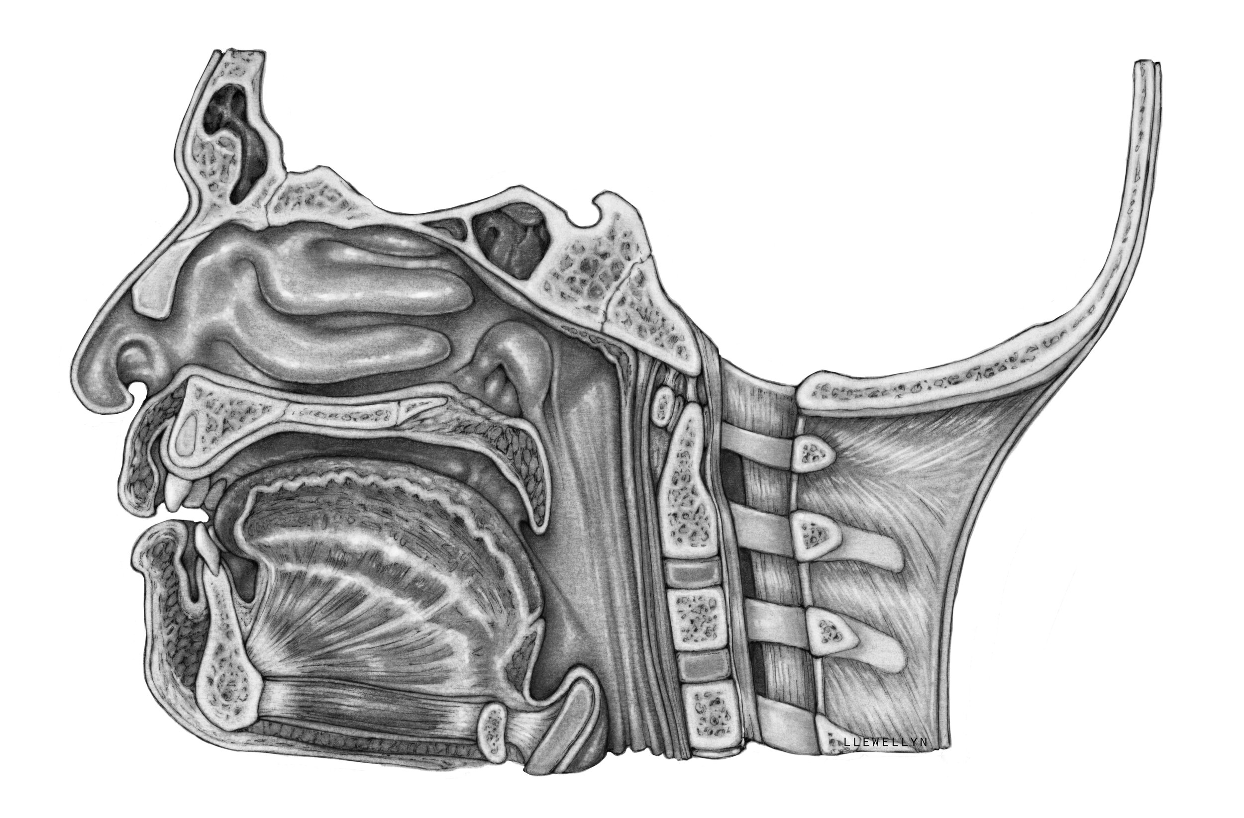 Midsaggital section of the head