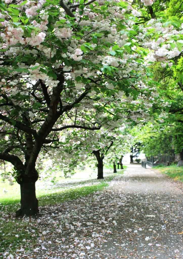 Flowering cherry -  Prunus shimidsu sakura   Image Via: https://easybigtrees.co.nz/product/prunus-serrulata-shimidsu-sakura/prunus-shimidsu-sakura-oamaru/