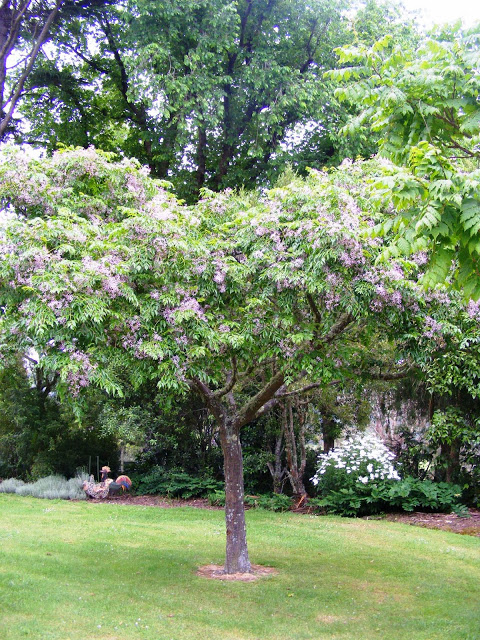 Indian Bead Tree -  Melia Azedarach  looks fantastic with hedges grown underneath.  Image via: http://dursley-garden.blogspot.com/2013/11/paeonies-and-roses-at-dursley-garden.html