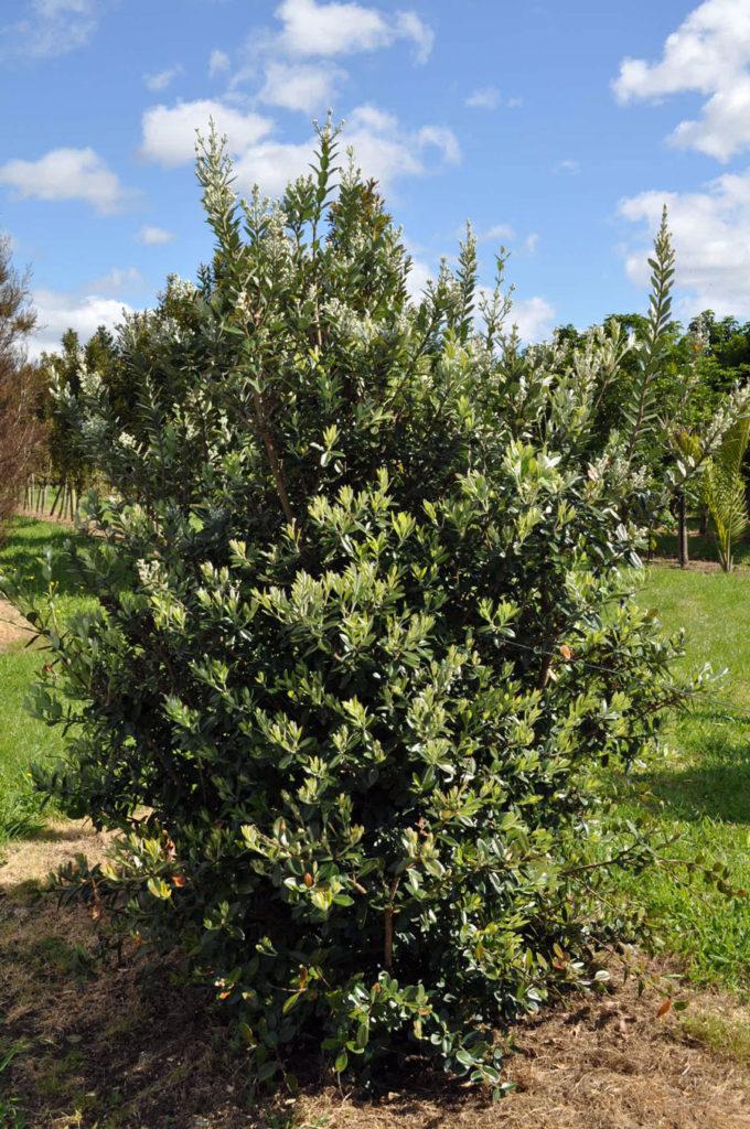 NZ Native Tree -  Houpara pseudopanax lessonii   Image via: https://takana.co.nz/portfolio-item/horopito-pseudowintera-colorata/