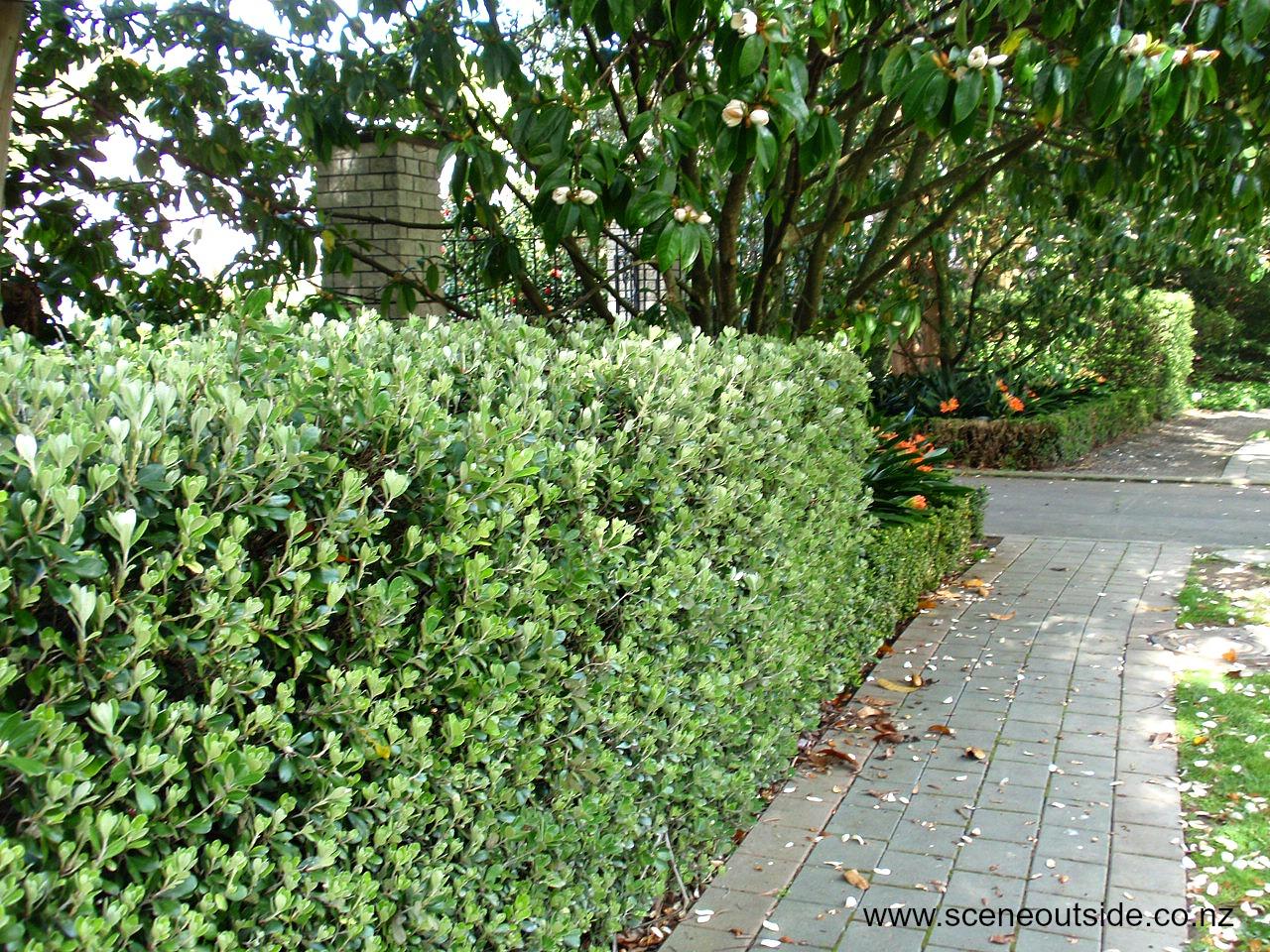 NZ Native Shrub/Hedge -  Pittosporum crassifolium karo   Image Via: http://aboutgardendesign.com/plant-guide/item/pittosporum-crassifolium
