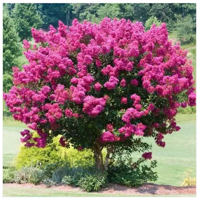 The beautiful Crepe Myrtle -  Lagerstroemia indica Bergerac  is a stunning flowering tree which come in a few different colours.  Image Via: https://leafland.co.nz/trees/lagerstroemia-indica-bergerac-crepe-myrtle/