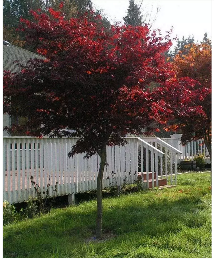 Purple Japanese Maple -  Acer pal. atropurpureum . This beautiful shade tree has purple foliage which turn scarlet during Autumn. It makes a fantastic statement piece in a garden, often planted near the front of the house as an ornamental feature.  Image Via: https://leafland.co.nz/trees/acer-pal-atropurpureum-purple-japanese-maple/