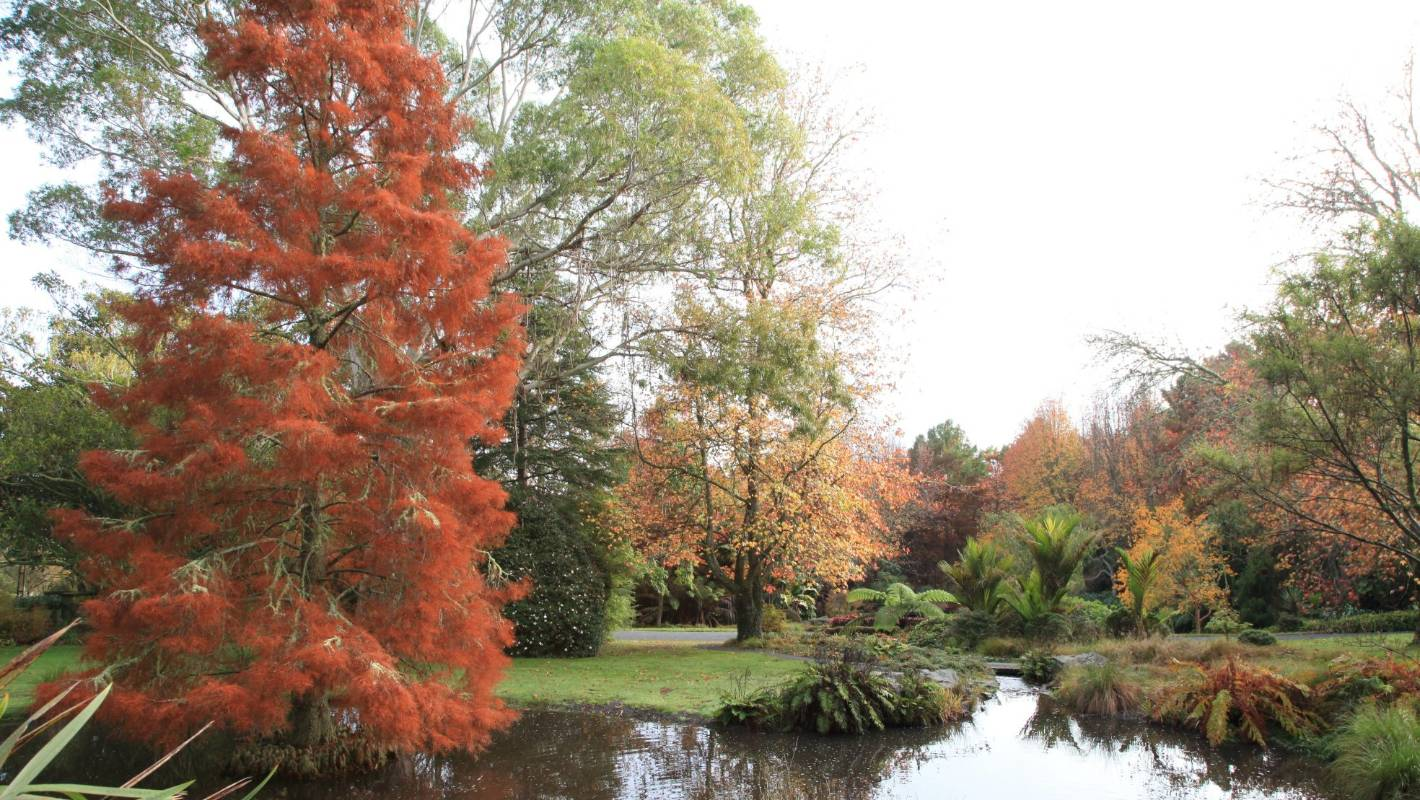 Swamp Cypress -  Taxodium distichum   Image via: https://www.stuff.co.nz/life-style/homed/garden/93734294/why-are-aucklands-autumn-leaves-so-colourful-this-year