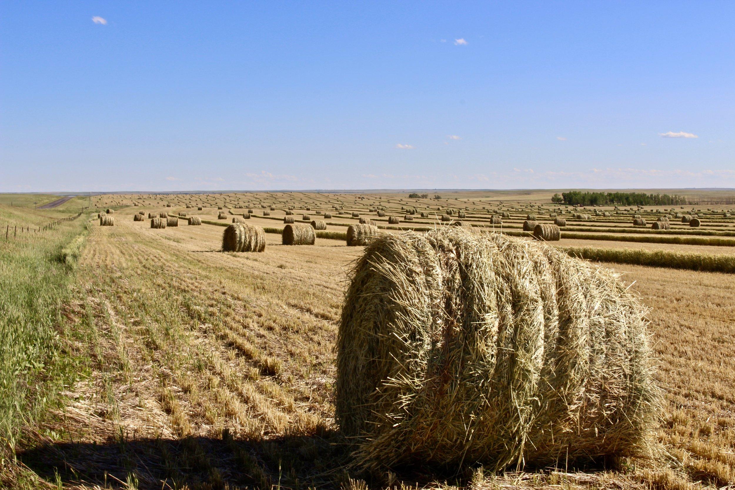 Hay bales sit in dry fields