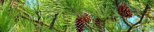 white+pine.jpg