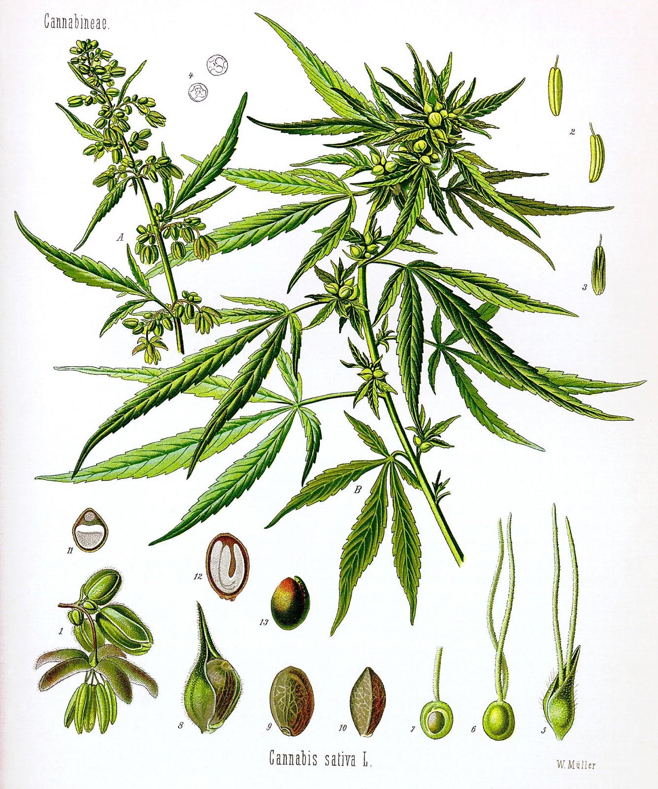 Cannabis_sativa_Koehler_drawing.jpg