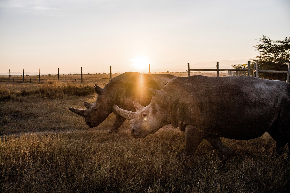Najin(mother) and Fatu(daughter)are the last two remaining northern white rhinos in the world. They live in a large gated and protected area where they are free to roam and are looked after 24 hours a day by Ol Pejeta's caretakers and armed NPR (National Police Reservists).