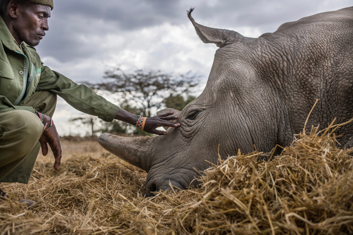 Peter Esegon, 47, one of the primary rhino caretakers at Ol Pejeta conservancy relaxes with Najin as she takes a nap.  The caretakers live away from their families at a small camp within eyesight of the rhino holding area for 20 days on and 6 days off.