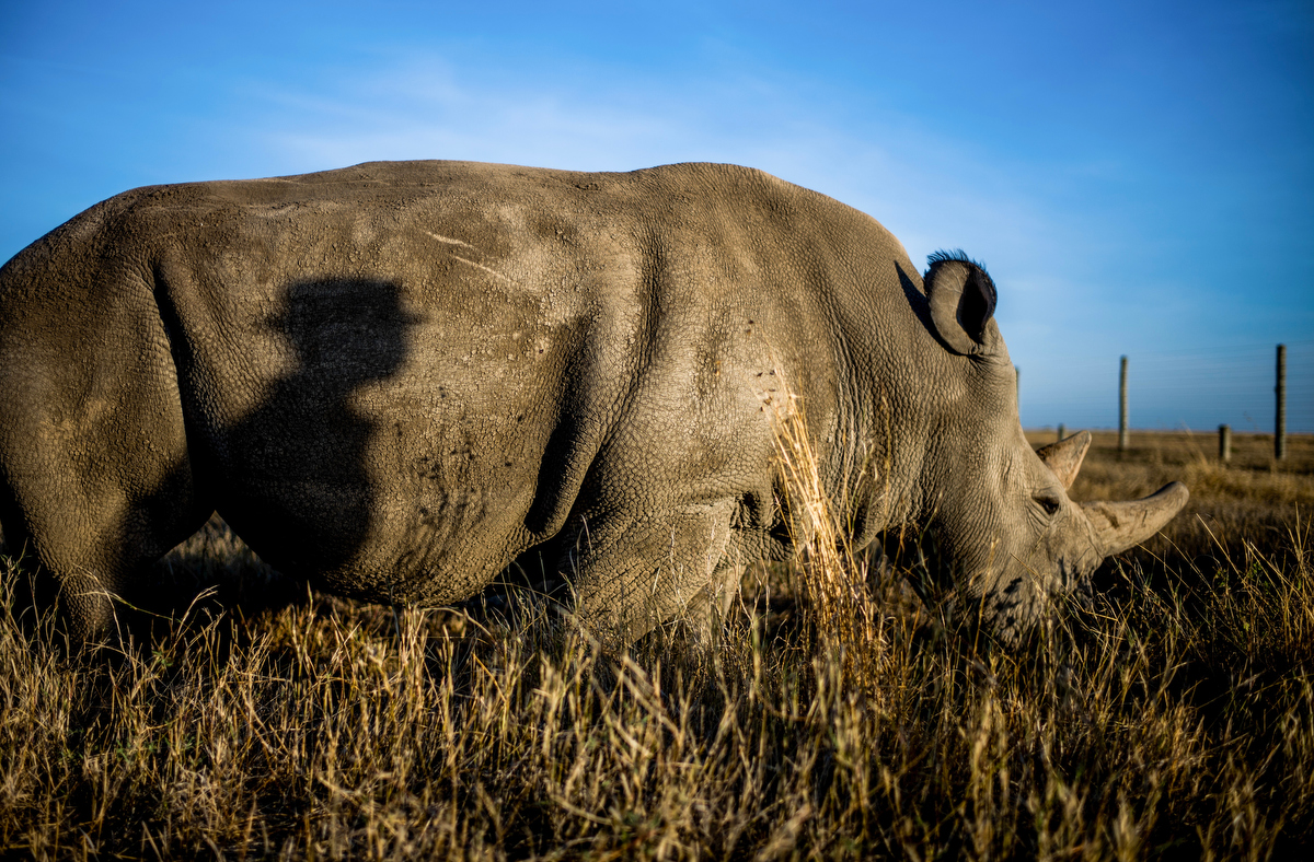 The shadow of Zacharia Kipkirui, 41, casts on Najin, one of two remaining northern white rhinos in the world.  Kipkirui has worked at the conservancy for 14 years and has been with Fatu and Najin since they arrived at Ol Pejeta from Dvůr Králové Zoo in the Czech Republic in 2009.