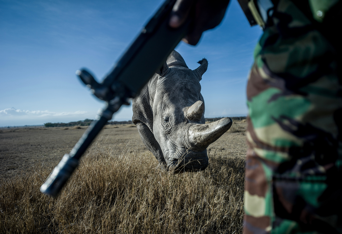 John Mugo, 37, a member of the NPR (National Police Reservists) protects and patrols the grounds of Ol Pejeta conservancy from poachers with Najin in the background.  The rhinos have been poached almost to extinction for their horns to be used in traditional eastern medicines in China, Vietnam, South Korea, and Taiwan and in Yemen for dagger handles.