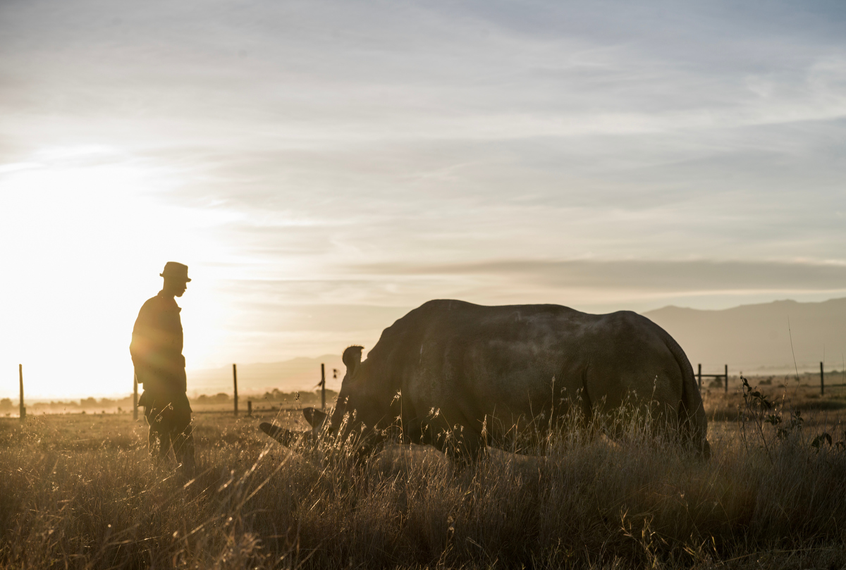 Peter Esegon, one of the rhino caretakers watches over Fatu and Najin as they graze in her their holding area at Ol Pejeta conservancy in Central Kenya.  The rhinos are also protected around the clock by armed guardians.