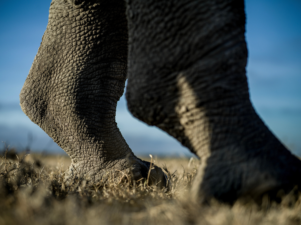 The hind legs of Najin, one of two remaining northern white rhinos left in the world.