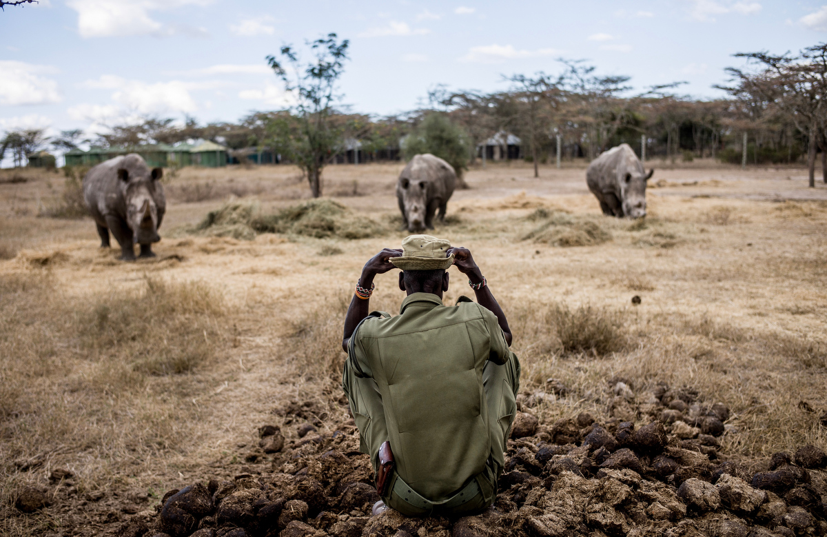 Peter Esegon, one of the rhino caretakers watches over as she naps in her their holding area at Ol Pejeta conservancy in Central Kenya.  The rhinos are also protected around the clock by armed guardians.