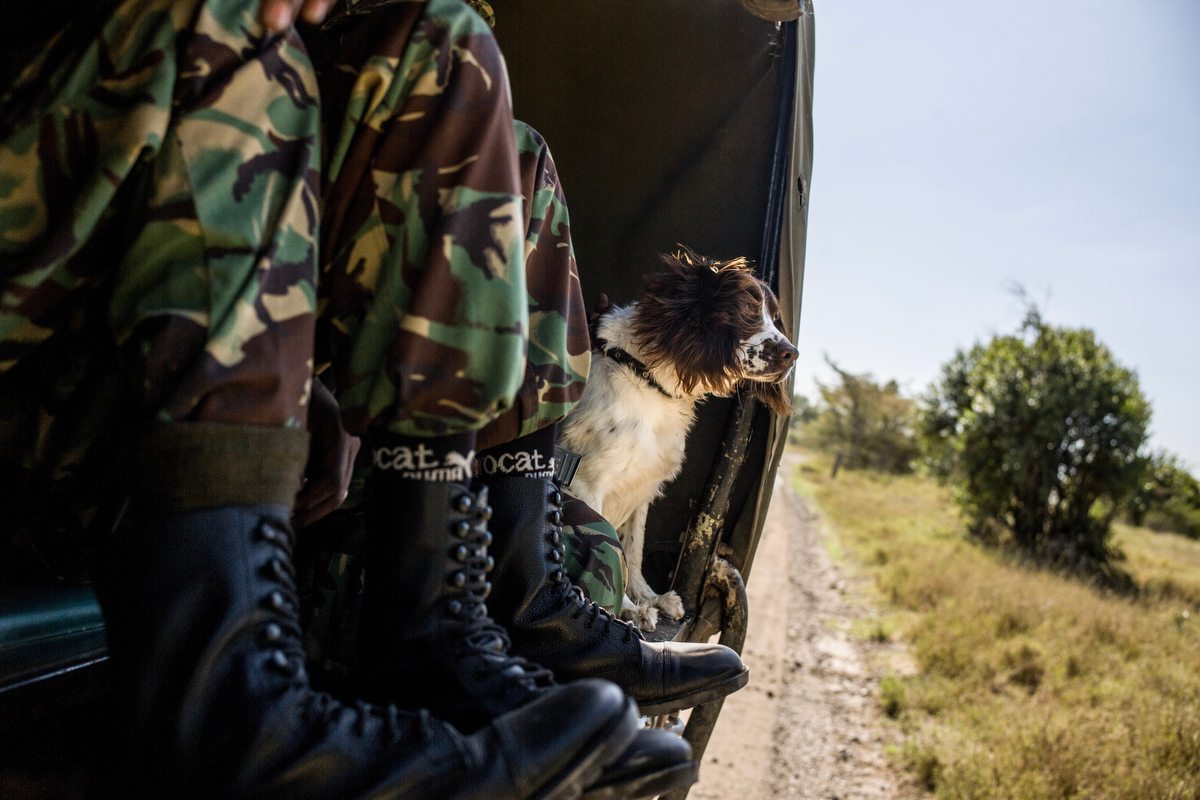 The K9 Unit trains Otis, a bloodhound, inside the grounds of Ol Pejeta conservancy. Each of the dogs has a different speciality, from tracking the scent of a poacher, to detecting ammunition and attacking and detaining potential suspects.  Ol Pejeta's K9 unit was one of the first private conservancy dog units in Kenya.