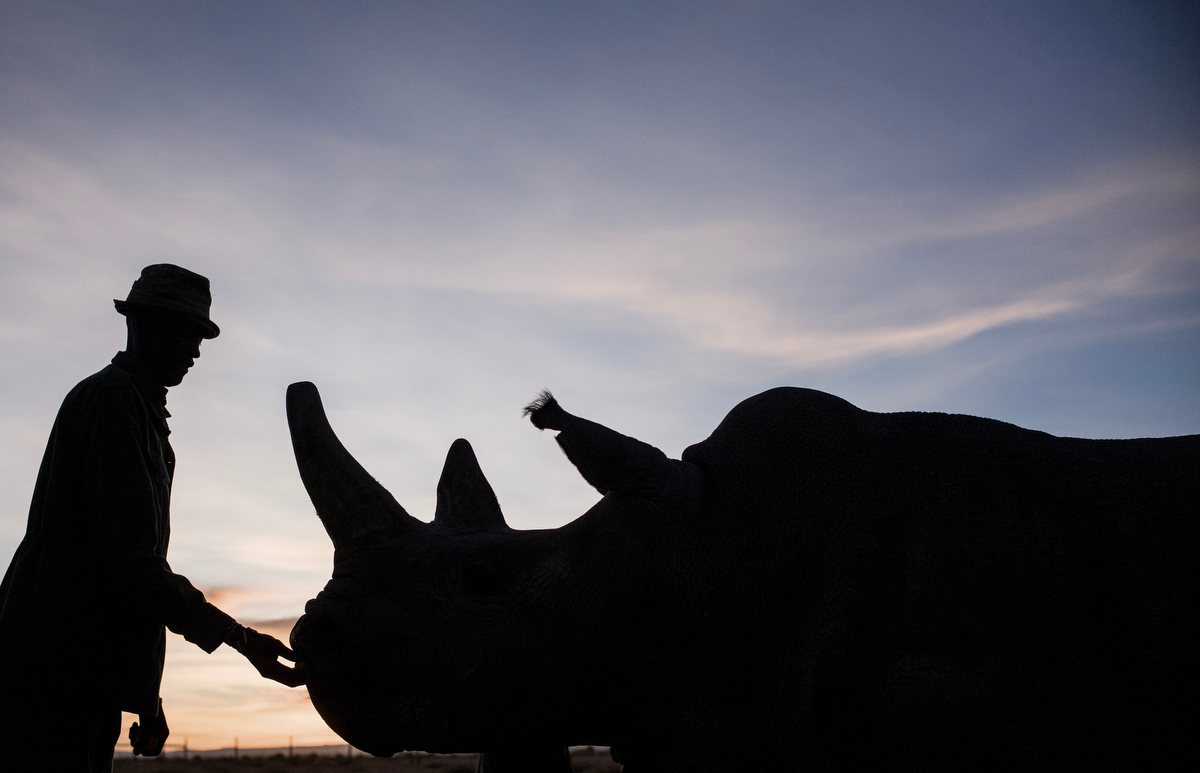 Peter Esegon, 47, one of the primary rhino caretakers at Ol Pejeta conservancy scratches Fatu on the head as she grazes in the open field.  The caretakers live away from their families at a small camp within eyesight of the rhino holding area for 20 days on and 6 days off.