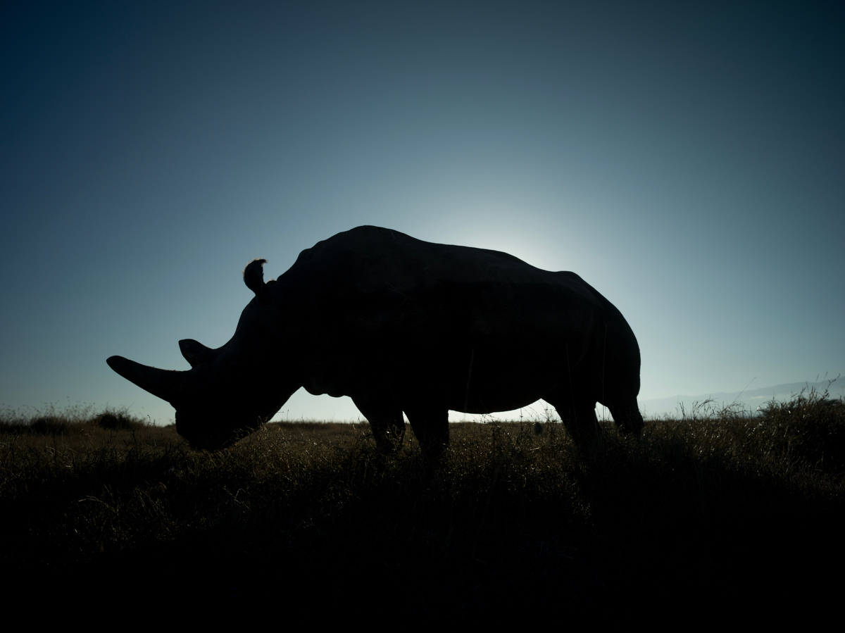 A silhouette of Najin as she grazes in the earning morning hours at Ol Pejeta conservancy in Central Kenya.