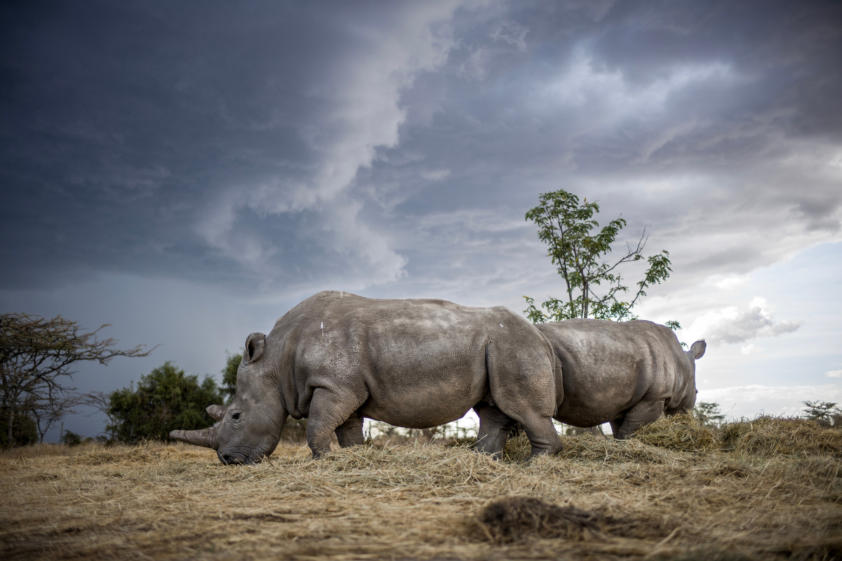 To Serve and Protect_The Last Remaining Northern White Rhinos_by Justin Mott_033.JPG
