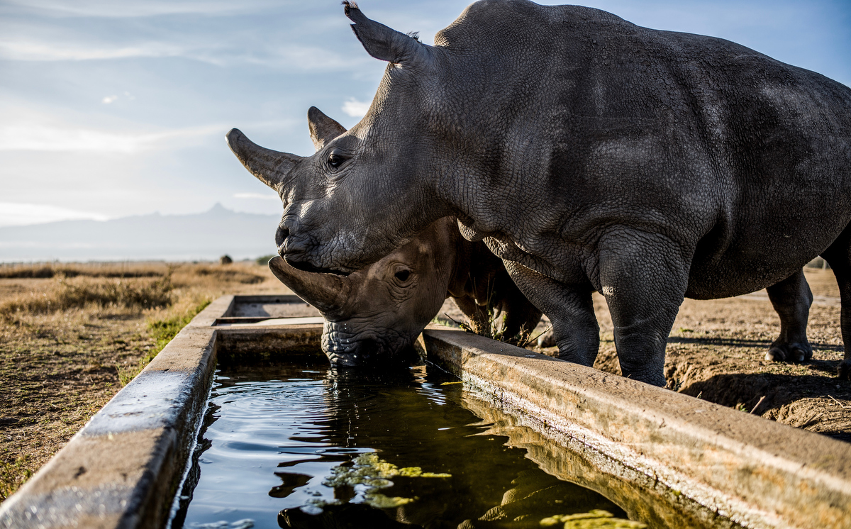 Fatu and Najin sip water together from a manmade trough in their holding pen at Ol Pejeta conservancy.