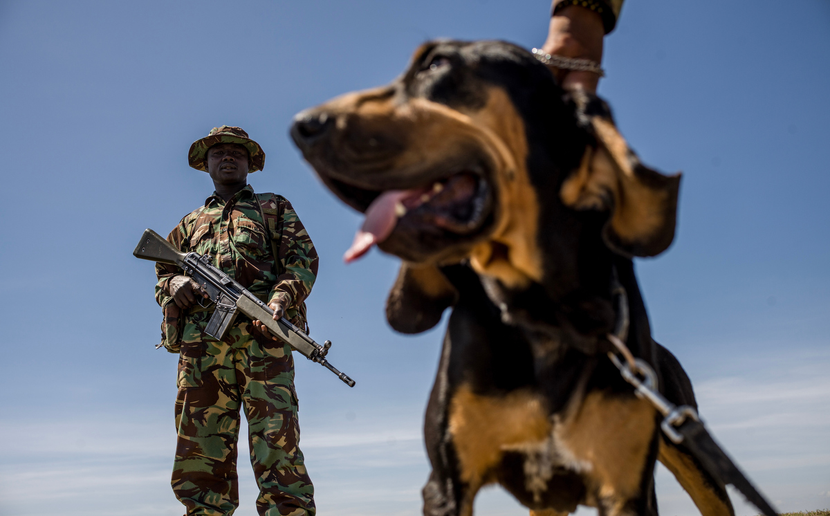 The K9 Unit trains Otis, a bloodhound, inside the grounds of Ol Pejeta conservancy. Each of the dogs has a different speciality, from tracking the scent of a poacher, to detecting ammunition and attacking and detaining potential suspects.  Ol Pejeta's K9 unit was one of the first private conservancy dog units in Kenya,