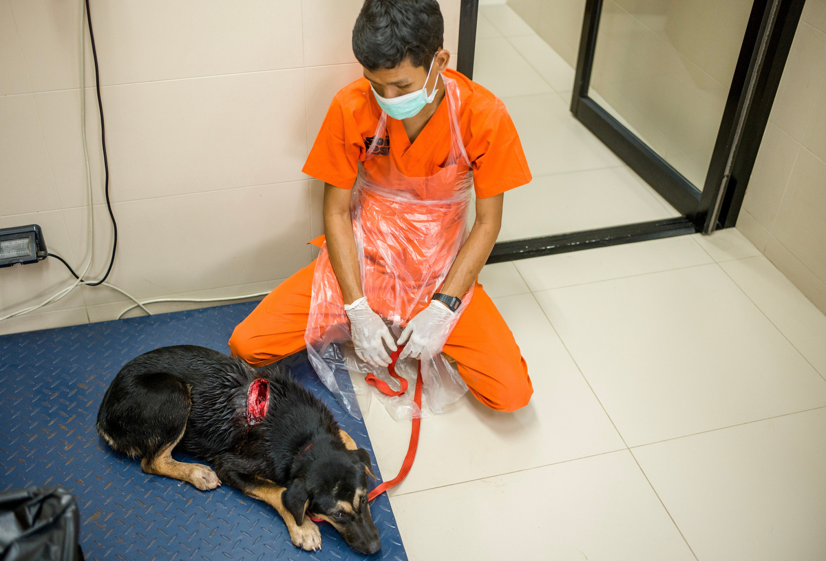 A street dog is brought into the vet hospital after suffering from a horrible wound to his body thought to be inflicted by a human with a machete. The cut went all the way down to the spine but after emergency surgery he is thought to make a full physical recovery. He will also be treated by the behavior team for his emotional trauma.