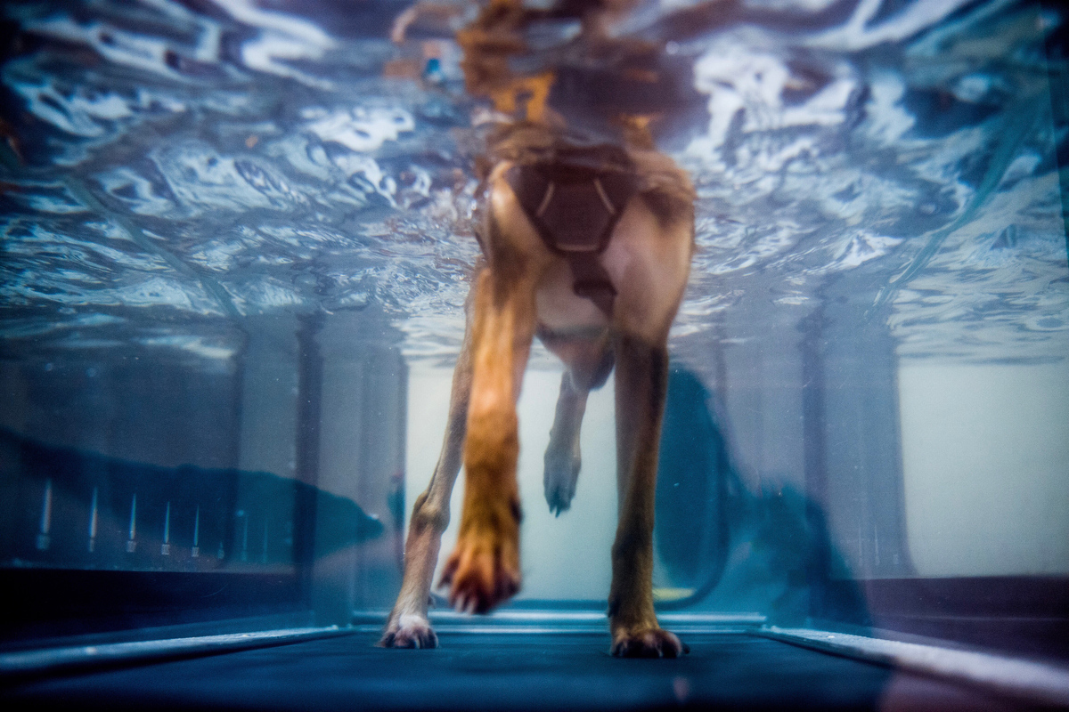 Kamalo, receives hydrotherapy training with the physiotherapy unit. She was originally brought to the center after being found dumped in a construction site without use of her hind legs. She has gone through two leg surgeries and trains daily but has a long way to go for recovery.