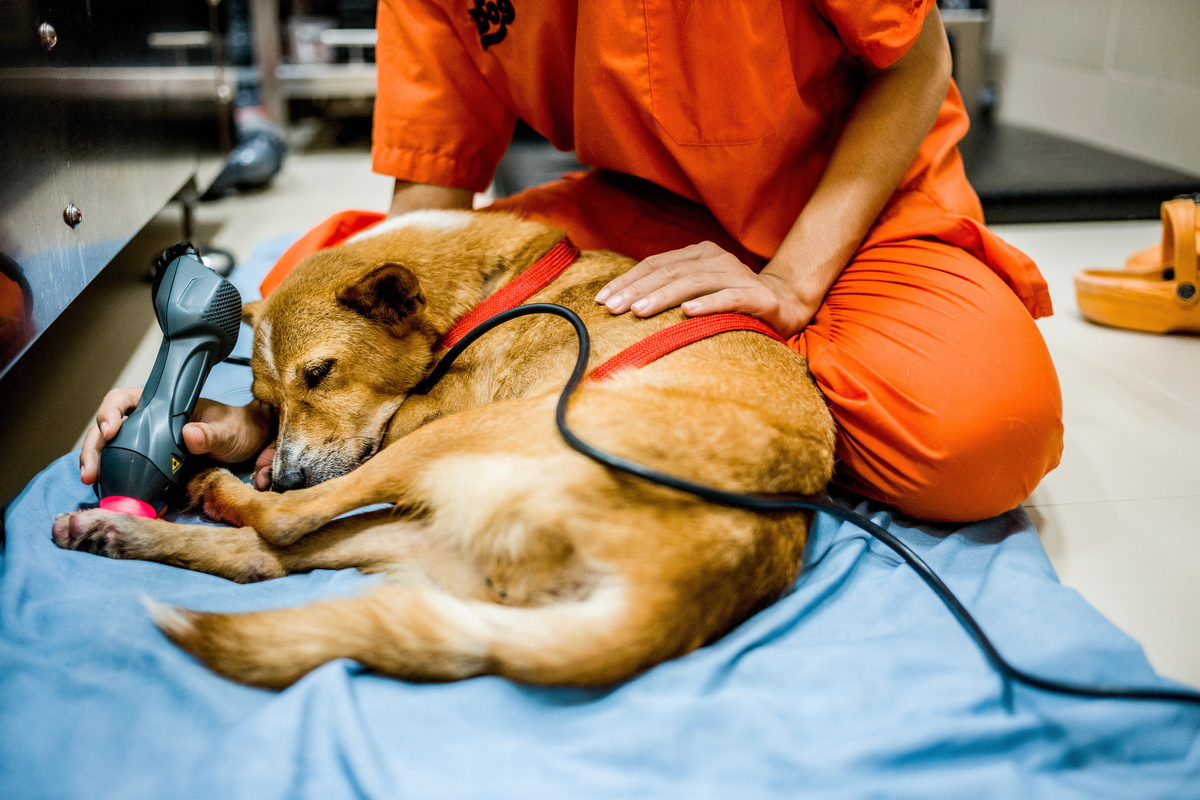 Aiw Wongla, 26, applies laser acupuncture treatment on Madahva, a dog brought to the foundation after being found dumped in a construction site without use of her hind legs.